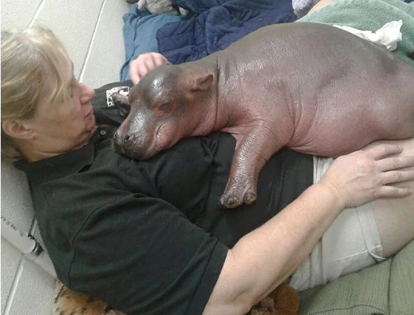 Fiona The Premature Baby Hippo Is Progressing Against All Odds.