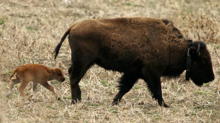 It's Been Two Hundred Years Since This Has Happened, A Birth Of A Baby Bison Is Nothing Short Of A Miracle.