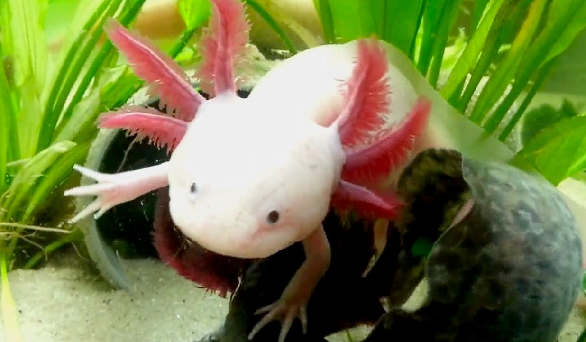 These Smiling Axolotls Are The Cutest Thing That You Will See Today!