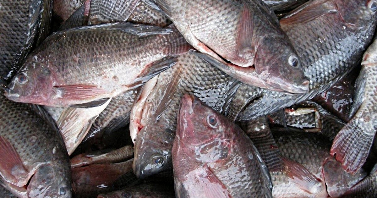 Eating This Fish Is Harmful To Your Health And Can Cause Death. Click To Read More About It