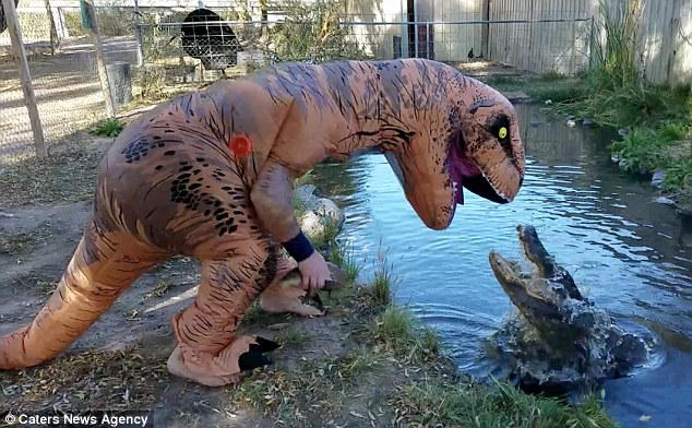 Don't Try This! Man Feeds Alligator In A T-Rex Costume To Make Them Fitter!