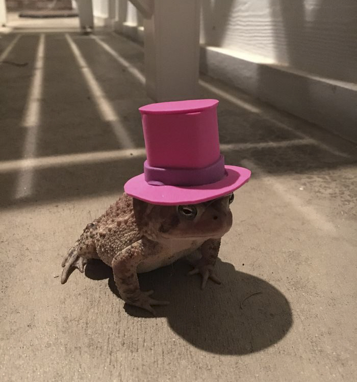 This Toad Daily Comes To Meet This Guy. The Guy Started Making Cool Hats For Him!