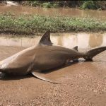 Australians Were Shocked To Find Bull Shark On Their Street After Cyclone Debbie