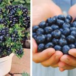Never Buy Blue Berries Again. Use These Methods To Buy Them
