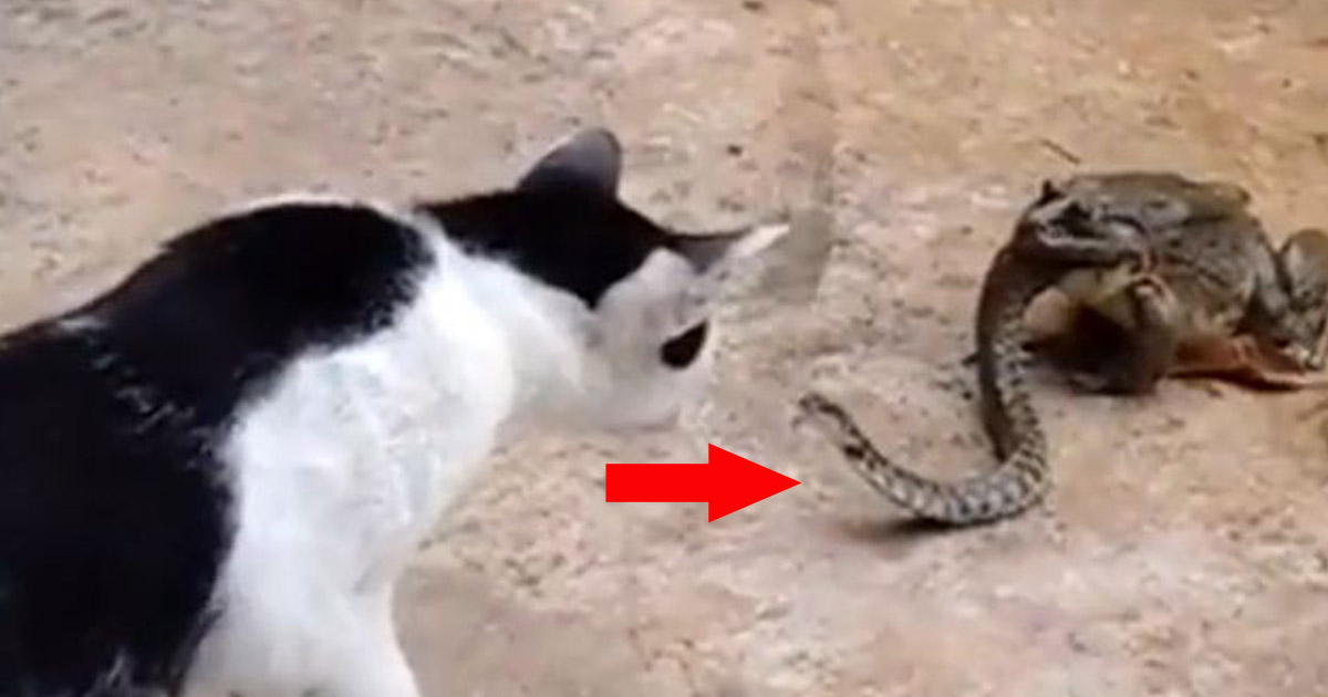 The Unusual Fight Video Of A Cat, Snake And Frog Caught Everyone's Attention!