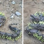 This Snake Who Learned A Great Lesson That Porcupines Shouldn't Be Attacked!