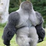This Gorilla Is Just Driving People Crazy. Just See The Video In The Link And Be Amazed