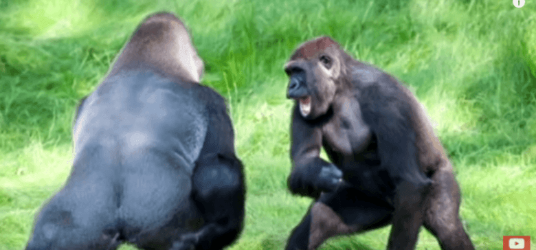 Gorillas Reunited After Being Separated For Years!