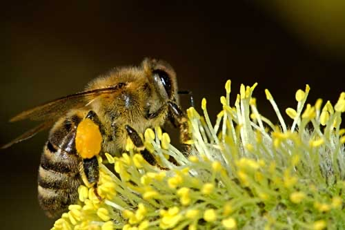 The bee is declared the most important living being on the planet because it is indispensable to all life.